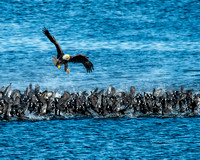 coots and eagles-Oct-21-2016-DSC_1112